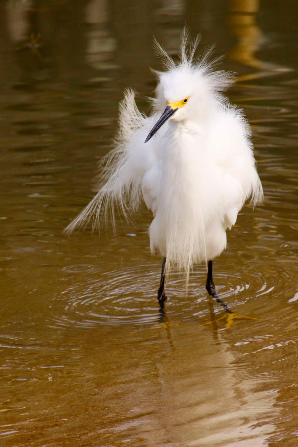 Fairy egret having a punk day
