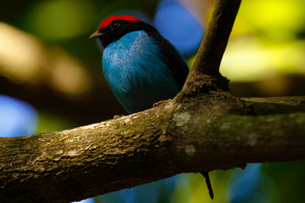 Male blue manakin