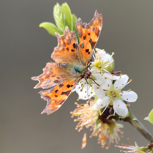 British butterflies, insects and spiders