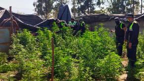 Secuestraron unas 230 plantas de marihuana