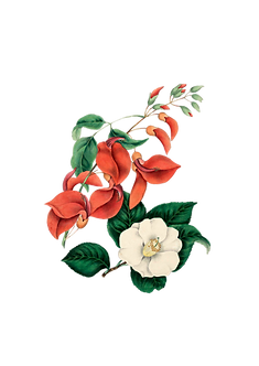 1653BlossomClipart-PNGNoBackground.png