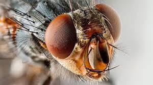 Revelan los secretos de la visión de la mosca para el control rápido del vuelo