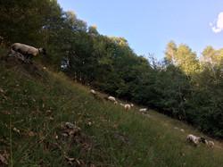 Die Schafe beweiden die steilen Weiden