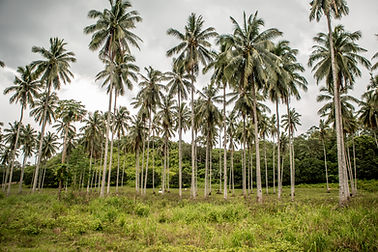 Palm Trees on coconut farm