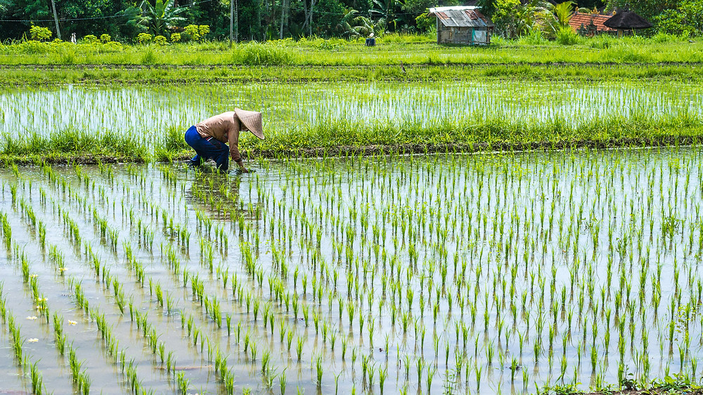 A farmer tending to the rice paddies