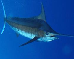 Marlin Closeup Underwater