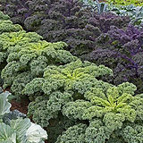 Neat-Rows-of-Well-Spaced-Out-Kale-Plants