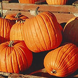 hills-vs-rows-how-to-raise-pumpkins-and-