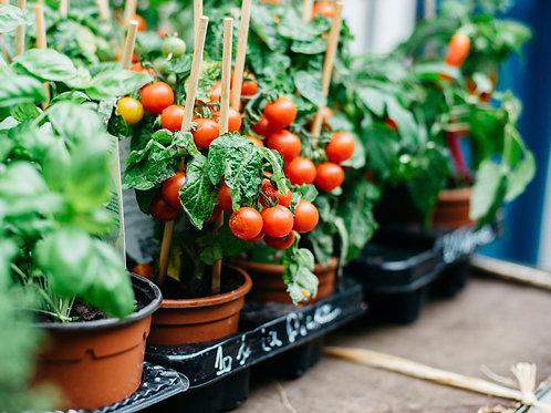 Veggie Plants