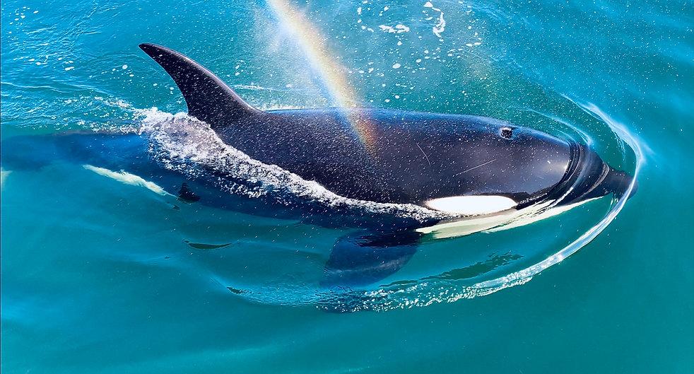 OrcaRainbow.jpg