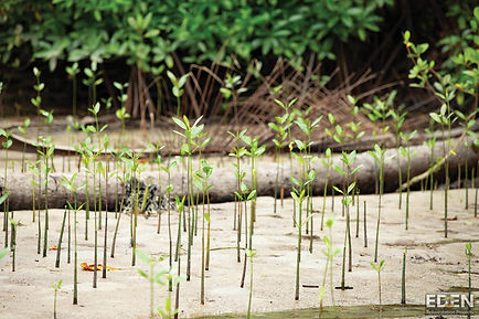 Photo of Mangrove Saplings for Eden Reforestation Project