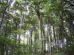 800px-Beechforest062005.jpg