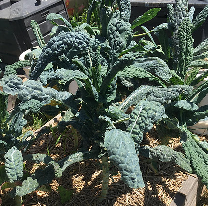 Kale: Tuscan (per bunch)