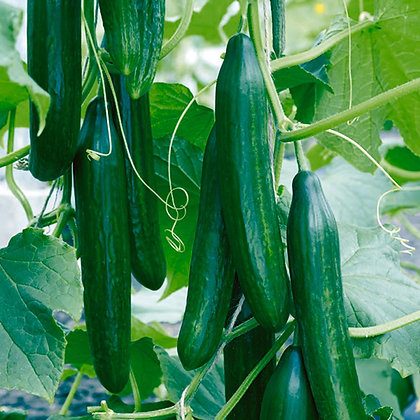 Cucumber: Tasty Green (ea.)