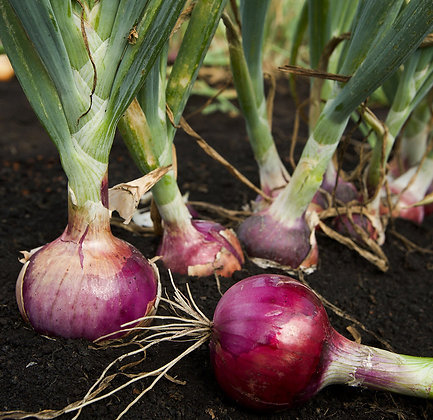 Onions: Red (per lb.)