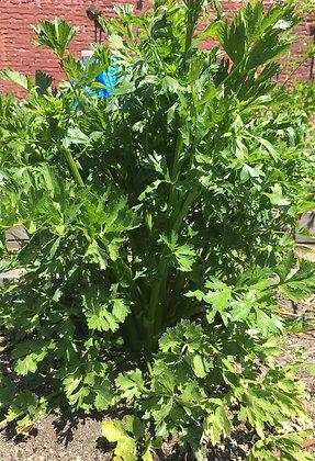 Celery: Green Garden
