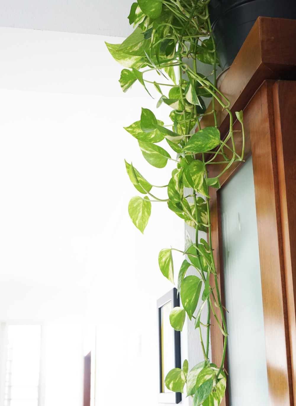 Golden Pothos o Progreso