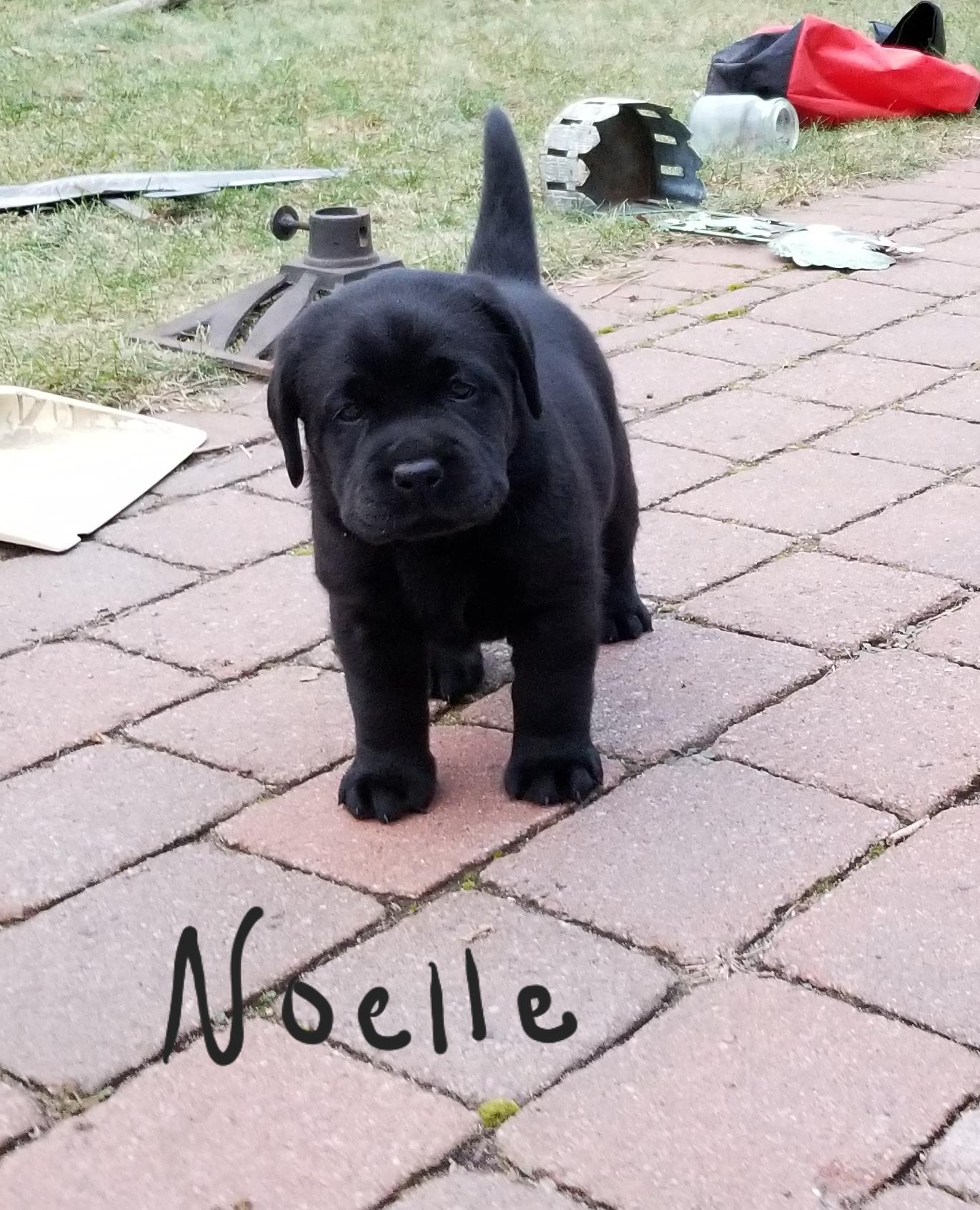 Lab puppy Noelle