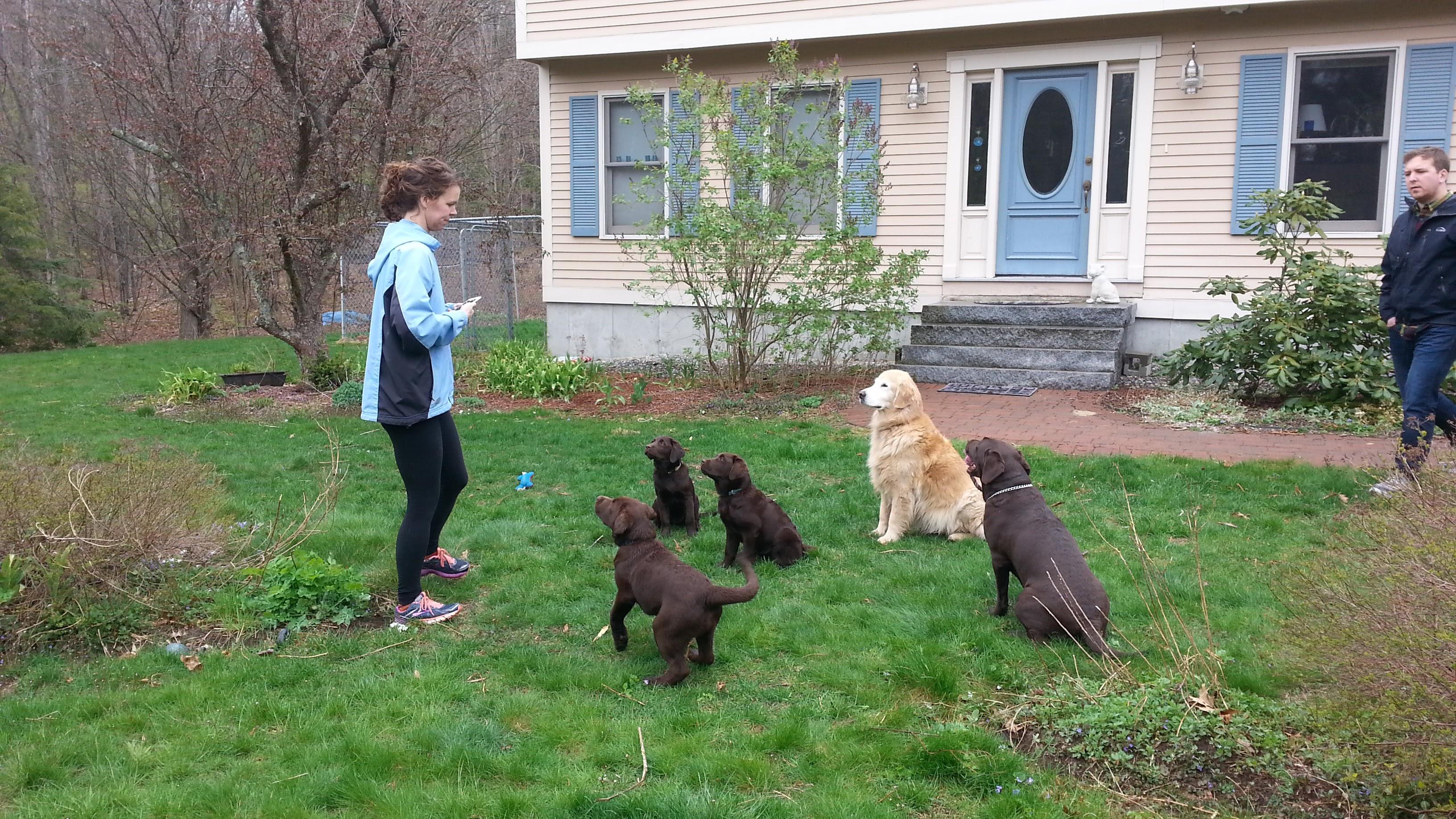 NH Labrador Retriever Breeder puppy socialization