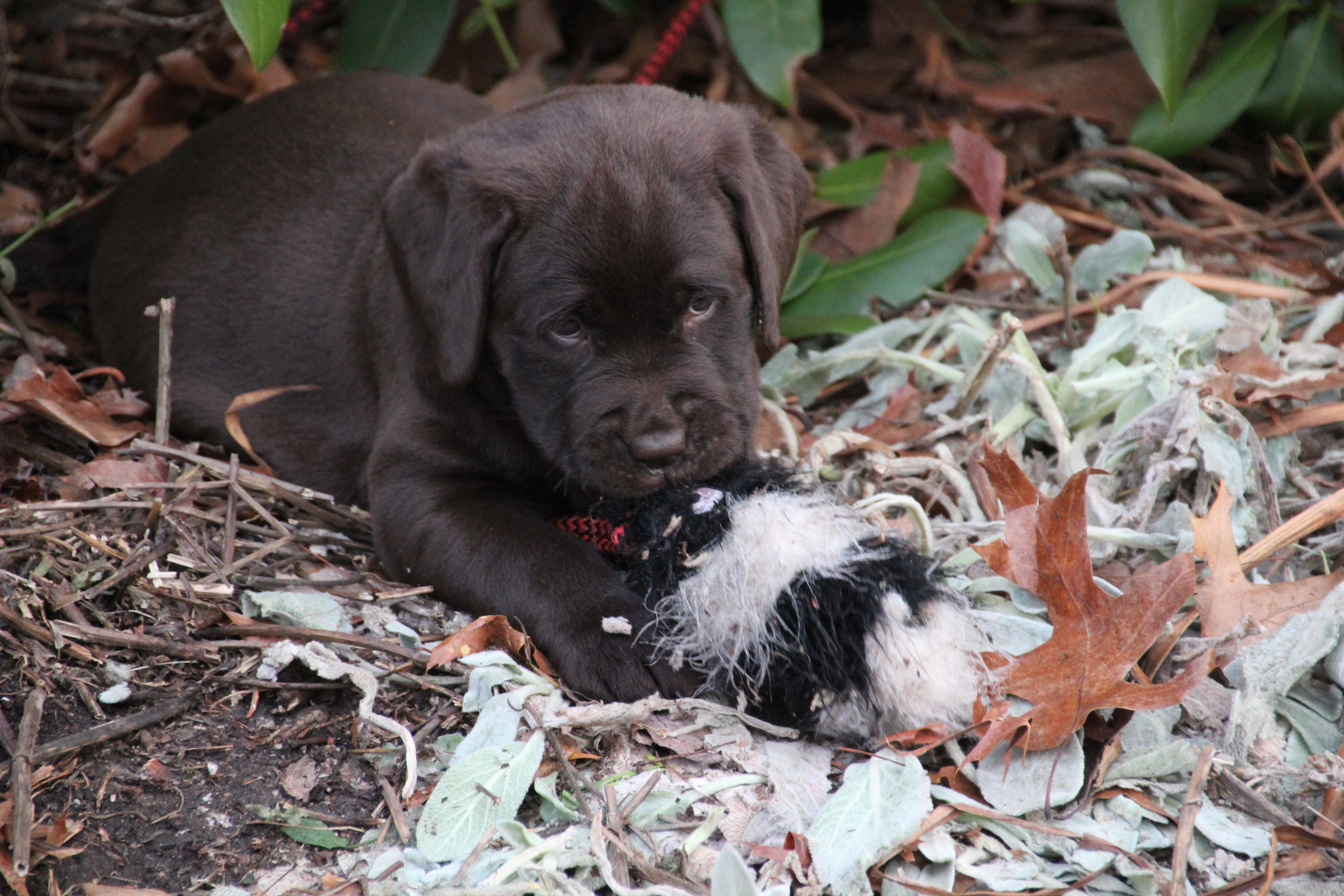 PuppiesFeb28 116