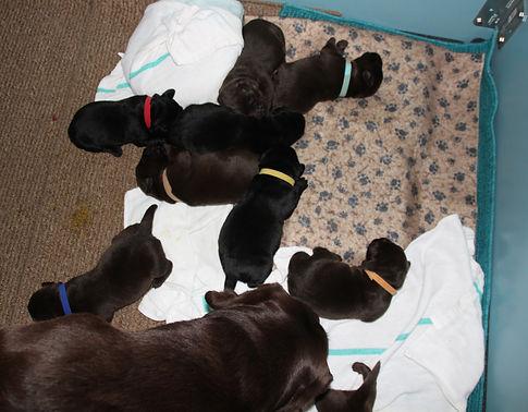 Woodmont Retriever puppies