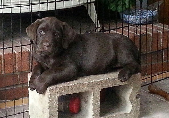 12 week old chocolate  Lab puppy