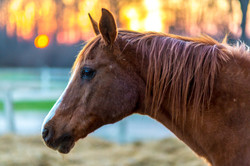 Champ at Sunset by Jim Drews at Connor Ranch April 18 2014 for print 0B4A7772