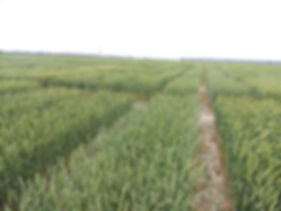 2012 Wheat 128.jpg