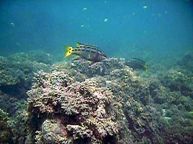 Gulf Signal Blenny
