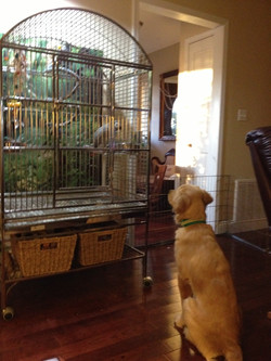 African Grey Parrot Savvy& Bunny