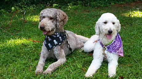OBX Doodles- Goldendoodle Puppies Breeder in North Carolina NC