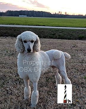 Doodle Moms   OBX Doodles- Goldendoodle Puppies Breeder in North