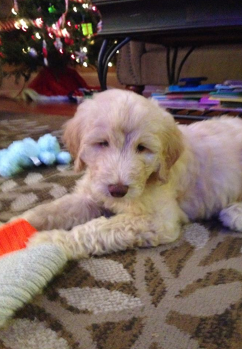 About The Breed | OBX Doodles- Goldendoodle Puppies Breeder in North