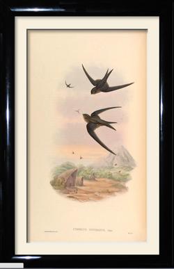 eastern palm swift