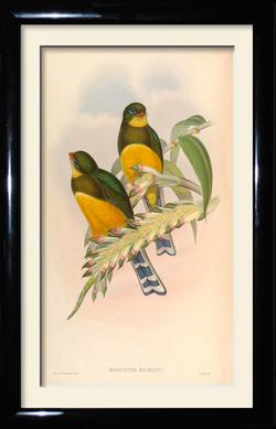 John Gould vintage framed prin