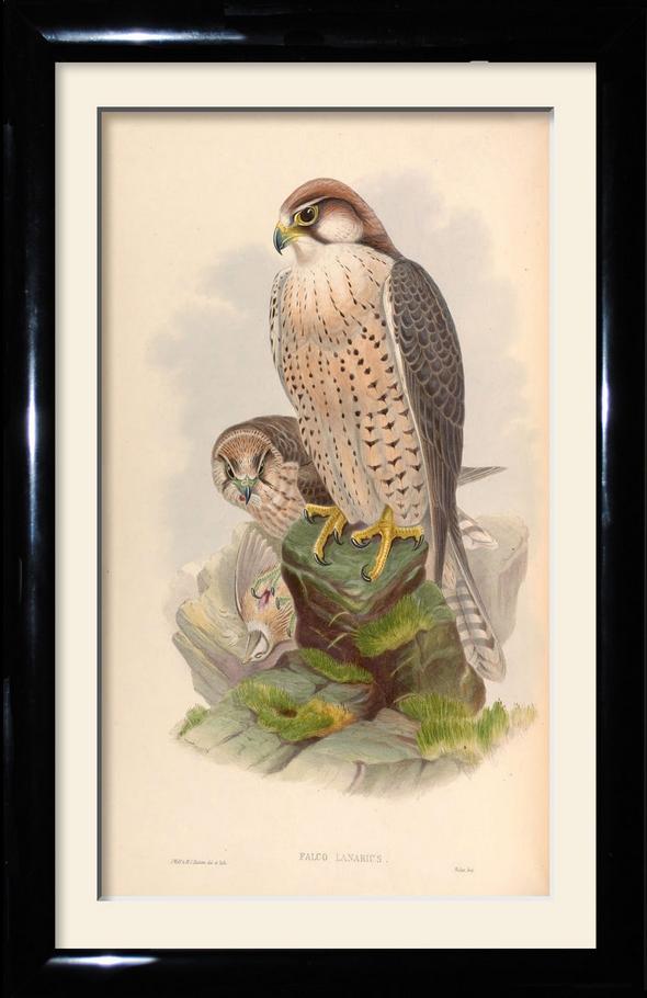 birds of prey falcon