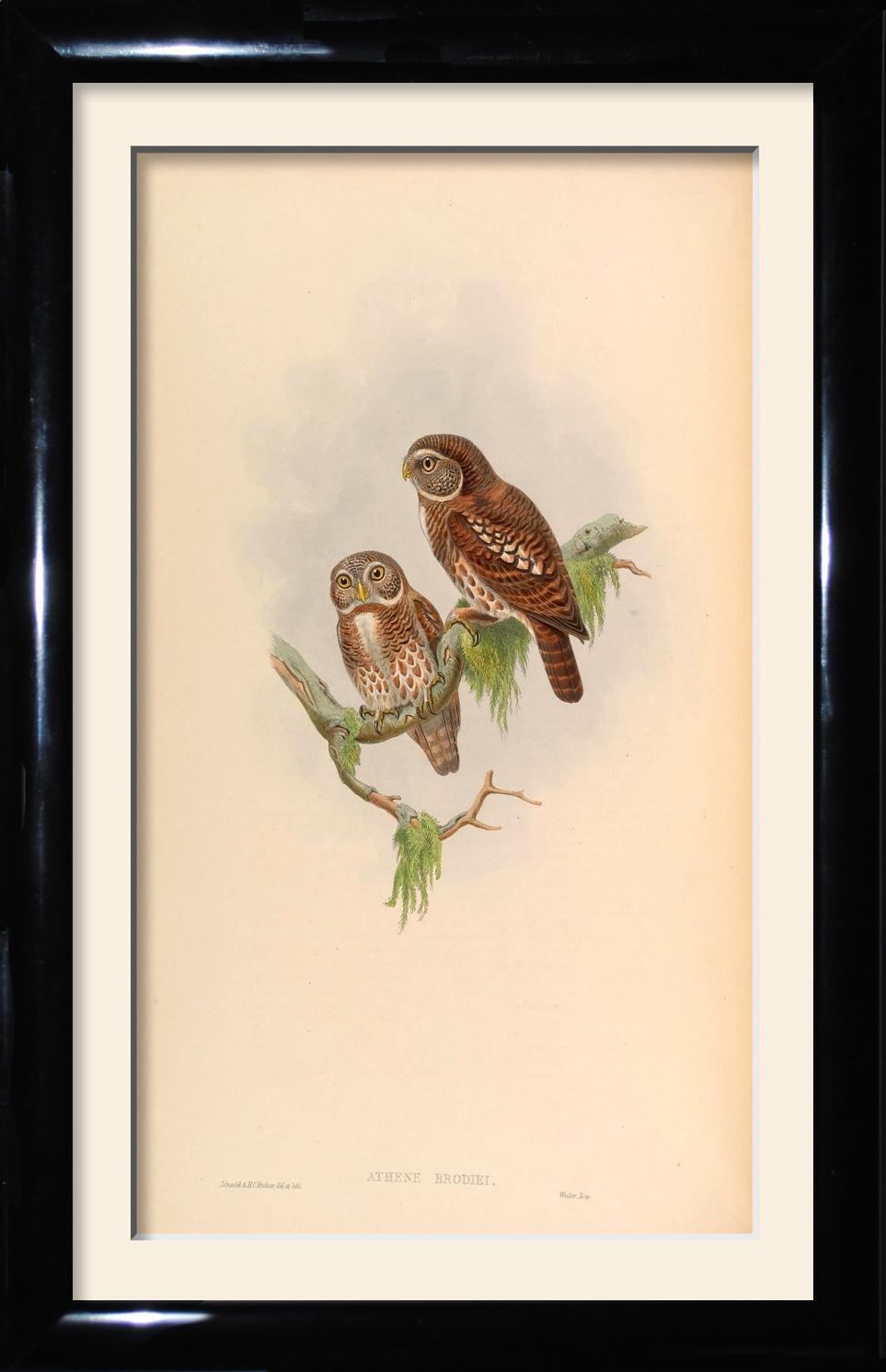 Athene Brodiei - Brodie's Owlet