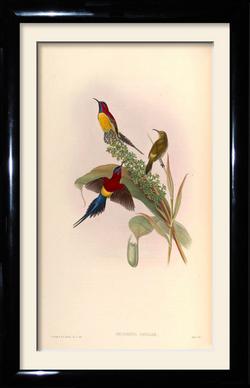 John Gould vintage framed print