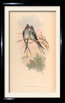 The Indian Crested Tree-Swift.