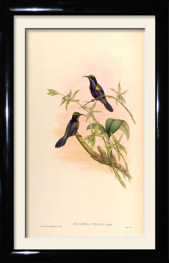 John Gould birds prints