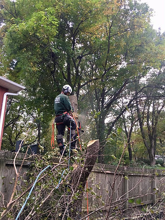 High angle tree service cutting a tree for full tree removal
