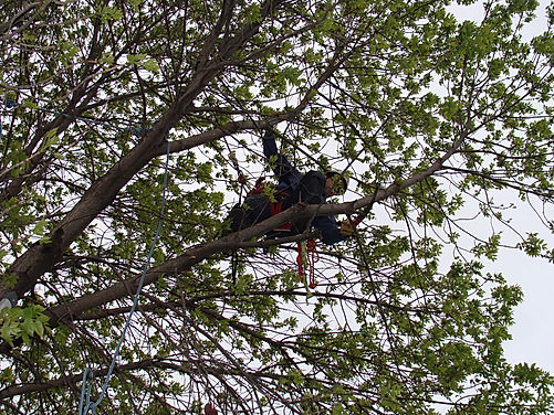 Daniel Haas in  tree cuttn a far limb