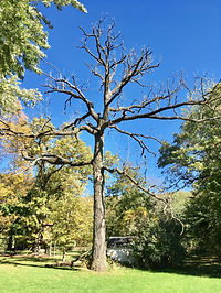 large dead tree with blue sky in background