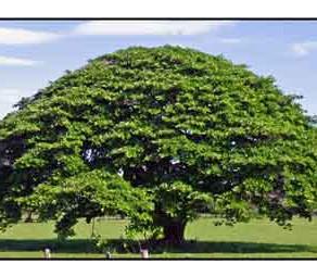 Plants  Legacy  As  Natural  Treatments