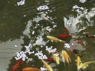 桜の花びらが池に咲く季節