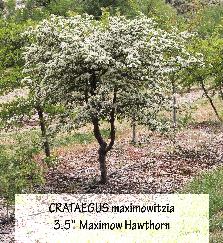 Maximow Hawthorn