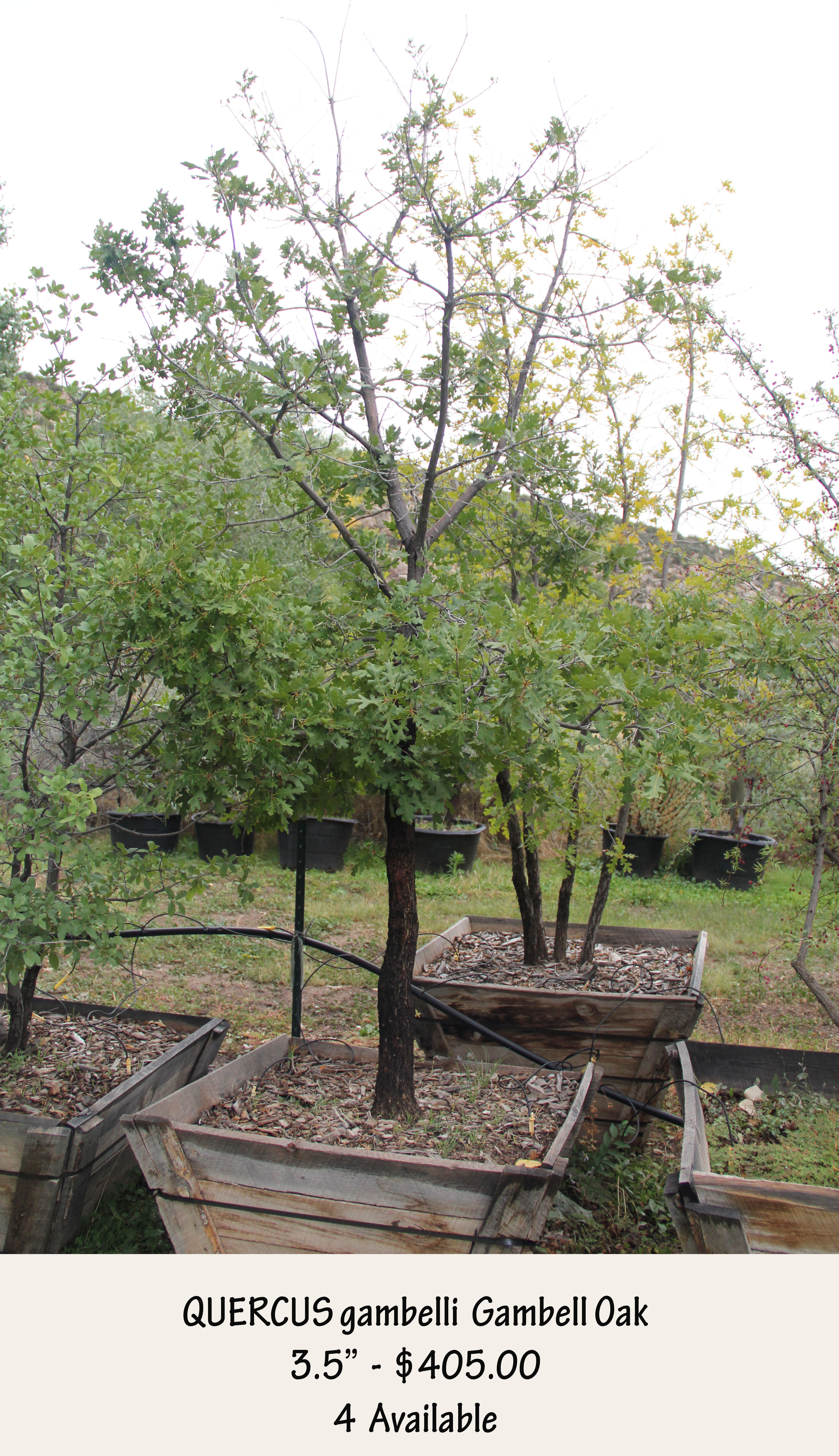 Gambell Oak