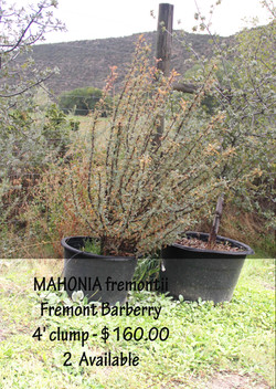 Fremont Barberry