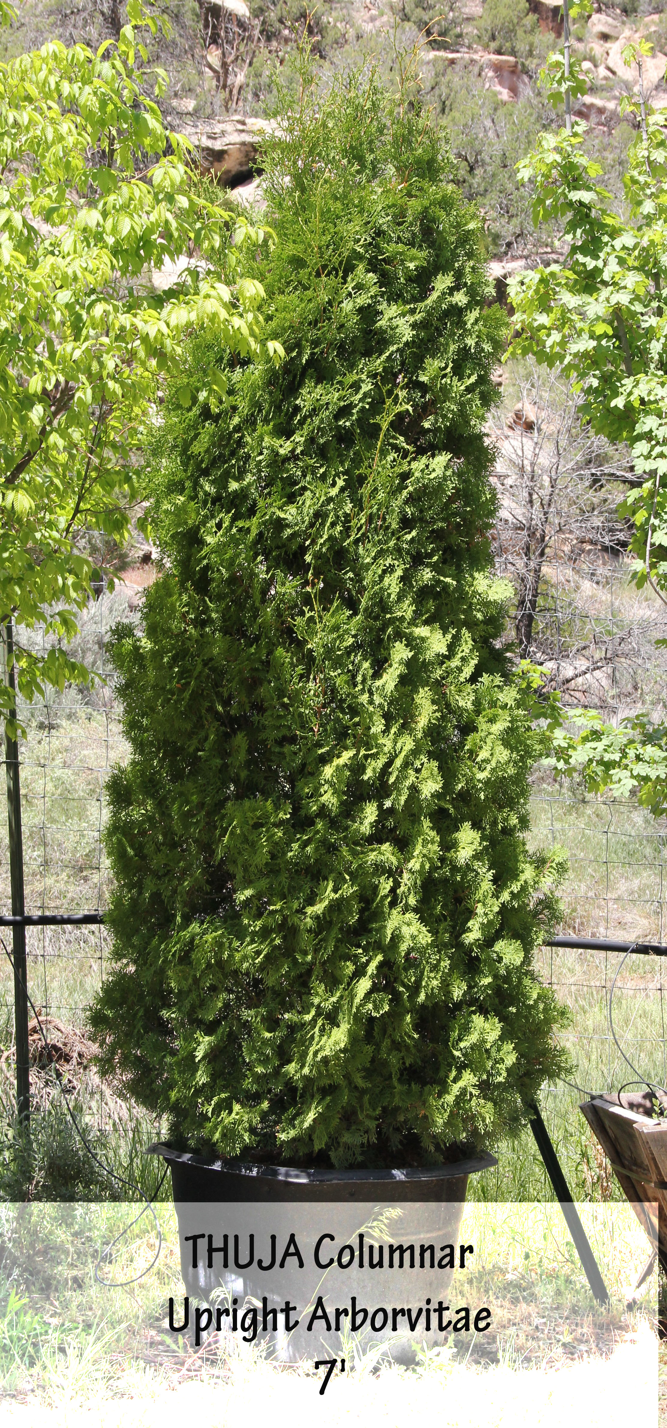 Upright Arborvitae