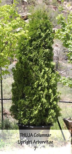 Upright Arborvitae